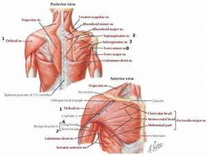 Anterior And Posterior Aspects Of The Chest  Back And
