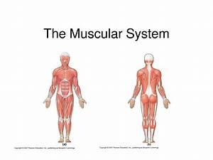 Muscle Diagram No Labels