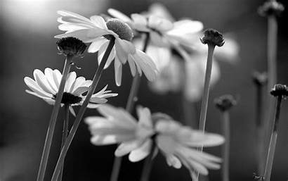 Flower Bw Backgrounds Wallpapers Daisy Desktop Amazing