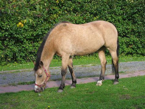 pony wiktionary