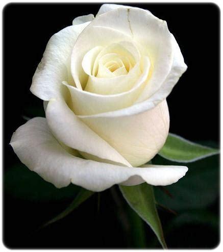 Flower: ความหมายของดอกกุหลาบ