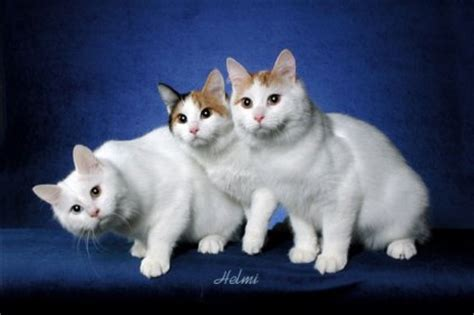 turkish van cat poc