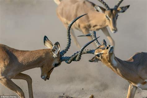 impalas locking horns wins royal society  biologys