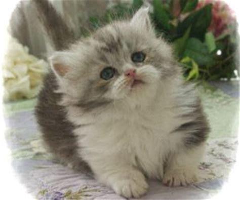 25+ Best Ideas About Munchkin Kitten On Pinterest
