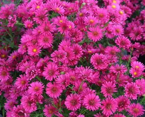 aster fiori astro aster naovae angliae piante perenni