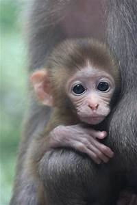baby monkey | Adorable baby monkeys | Pinterest | Monkey ...