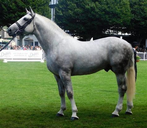 irish horse draught draft breeds horses stallion popular most commons breed ireland crossbreed crop society animals wikimedia