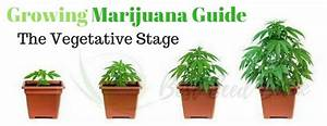 Growing Marijuana Guide The Vegetative Stage