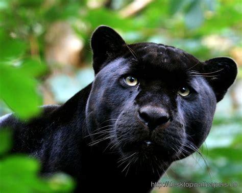 Black Panther Hd Wallpaper  Desktop Wallpapers Free