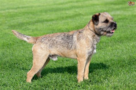 Border Terrier Non Shedding by Large Breeds Names Breeds Picture