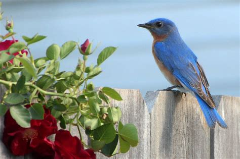 how to attract bluebirds tips and tricks