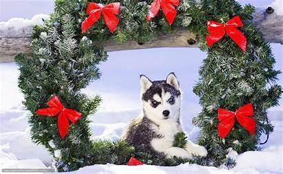 Husky Christmas Dog Puppy Desktop Snow Wallpapers