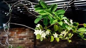 best climbing plants burke 39 s backyard
