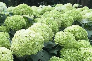 Hortensien Wann Pflanzen : sind hortensien winterhart sind hortensien winterhart ~ Lizthompson.info Haus und Dekorationen