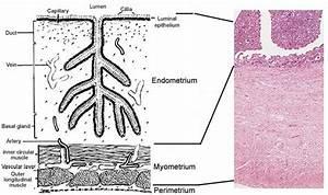 Mare Anatomy  Uterus