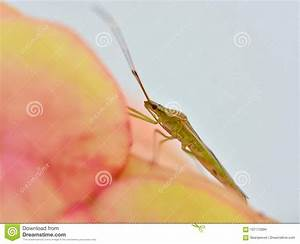 A Rice Bug Perched On A Orange Flower Stock Photo