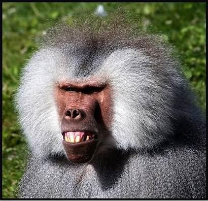 Baboon Monkey Funny Face Ugly Monkeys Faces