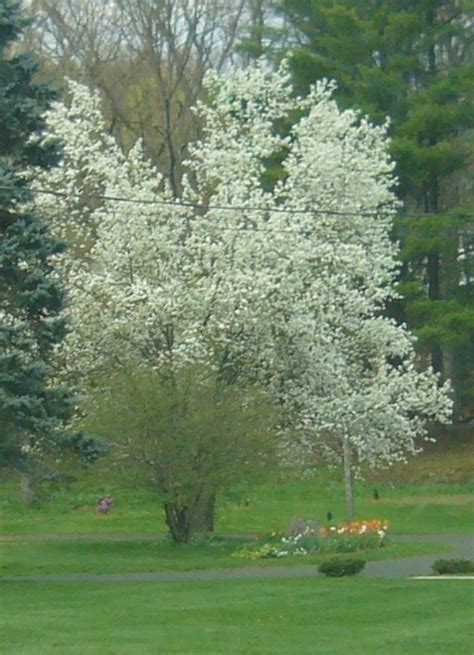 early blooming white flower tree pin dwarf magnolia blooming on a rural farm stock photo 3325645 on pinterest