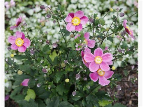 Gefüllte Anemonen Pflanzzeit by Herbst Anemonen Edler Bl 252 Tenschmuck Mein Sch 246 Ner Garten