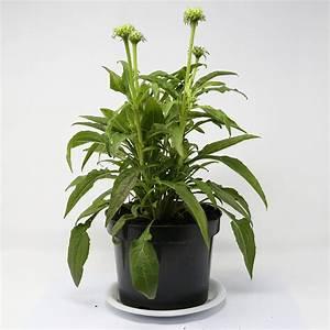 Sonnenhut Pflanze Kaufen : sonnenhut orange skipper xl online kaufen bei g rtner p tschke ~ Buech-reservation.com Haus und Dekorationen