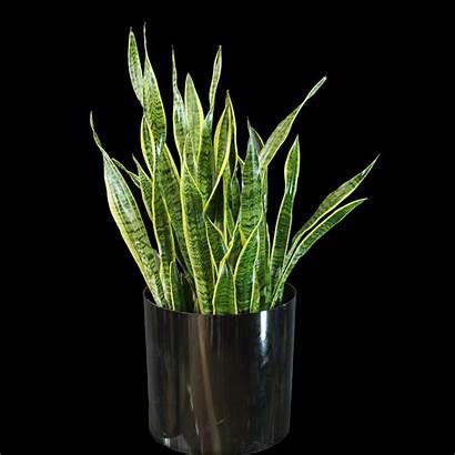 Plant Snake Flowers Pot Decorative