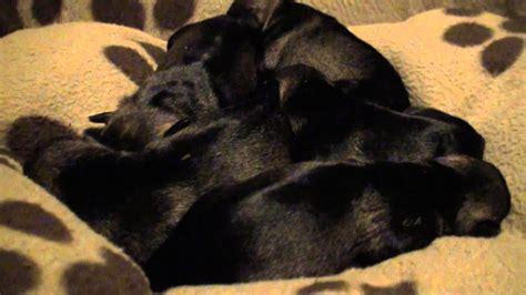 cute miniature schnauzer puppies birth   weeks