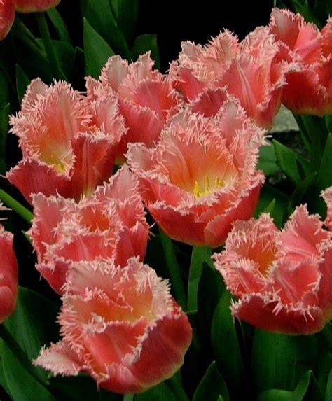 tulip bulbs item 1803 fringed the fringed tulip mixture fringed tulips tulips flower bulb index