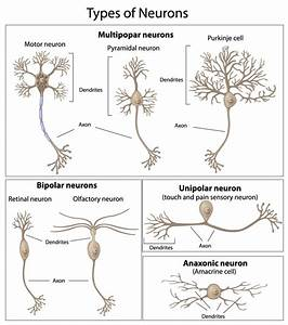 Image Gallery Multipolar Neurons
