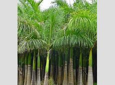 Royal Palm Tropical seeds Roystonea regia NEW by