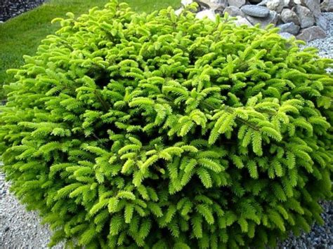 name of shrub 1000 images about landscape on pinterest little giants evergreen shrubs and farm pond