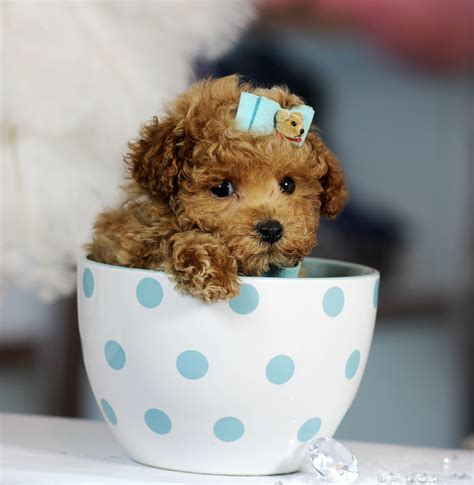 Teacup Poodle Bring This Perfect Baby Home Today