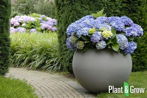planter des hortensias en pot hydrangea macrophylla forever 174 blue hortensia kopen plant grow