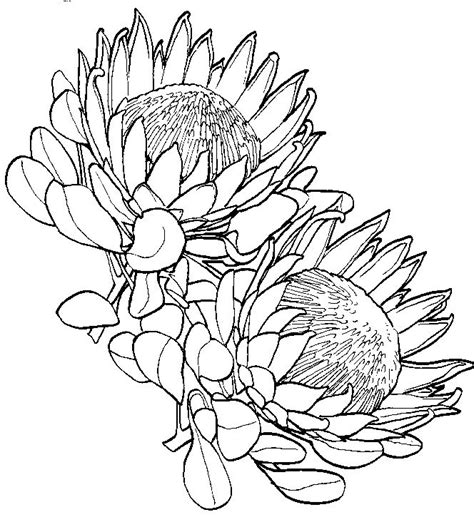 king protea drawing google search  images protea