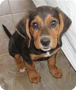 Rutledge, TN - Beagle/Black and Tan Coonhound Mix. Meet ...
