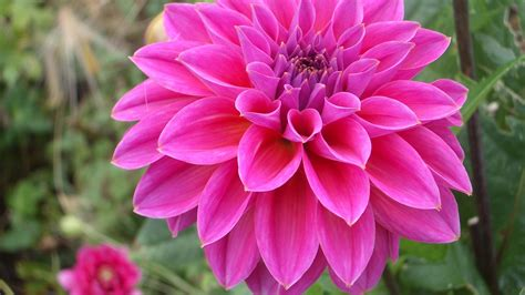 Pink Dahlia Flower Hd Wallpaper Download For Mobile