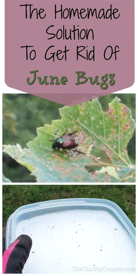 how to get rid of june beetles 17 best ideas about june bug on pinterest birthday month signs bugs and color bug