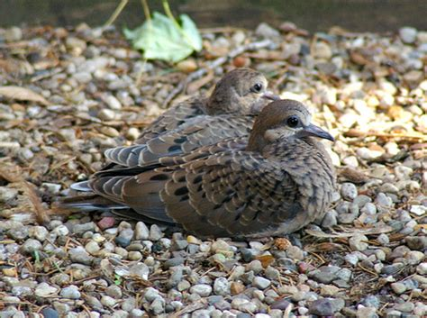 baby mourning doves found these little guys in the