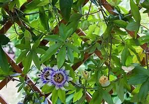 Rankpflanzen Winterhart Immergrün : sichtschutz mit kletterpflanzen aber mit welchen ~ A.2002-acura-tl-radio.info Haus und Dekorationen
