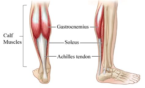 Analtomy Of The Calf Muscles