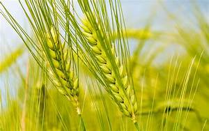 Wheat crop area decreased by 2.53 percent during 2010-11 ...