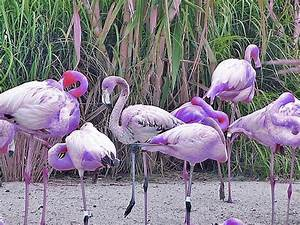 Purple Flamingos | If I ran the zoo.... | Flickr - Photo ...