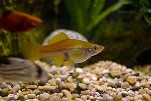 Swordtail - Common | Tropical Fish Forums