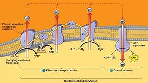 Electron Transport System And Atp Synthesis