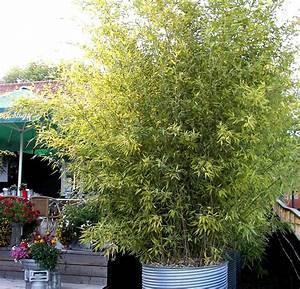 Grosse Kübelpflanzen Sichtschutz : bambus als k belpflanze und sichtschutz ~ Whattoseeinmadrid.com Haus und Dekorationen