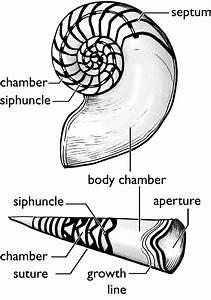 Mollusca Mollusk Diagram