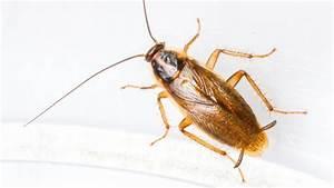 Kakerlaken ähnliche Insekten : schaben kakerlaken biotec klute gmbh ~ Articles-book.com Haus und Dekorationen
