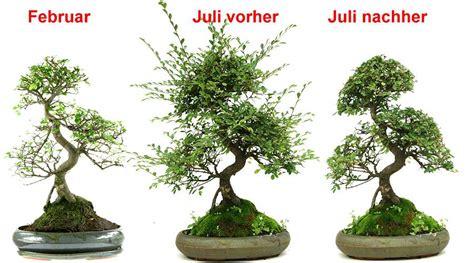 bonsai umtopfen anleitung bonsai bemerkenswert bonsai baum schneiden auf umtopfen anleitung zum b 228 umen bescheiden