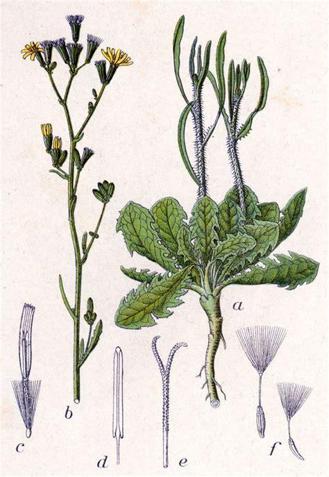 chondrilla juncea wikispecies
