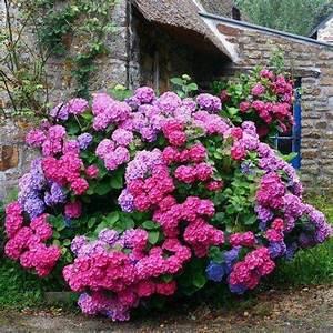 Blumen Für Schattigen Balkon : hortensie annabelle pflege und schneiden der schneeballhortensie garten garten hortensien ~ Orissabook.com Haus und Dekorationen