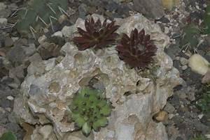 Pflanzen Auf Stein : sempervivum auf stein pflegen schneiden veredeln green24 hilfe pflege bilder ~ Frokenaadalensverden.com Haus und Dekorationen